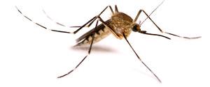 600x250_mosquito